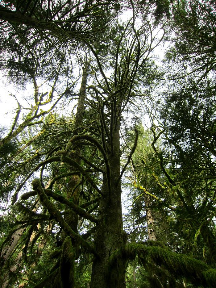 Pretzel Tree Trail 1