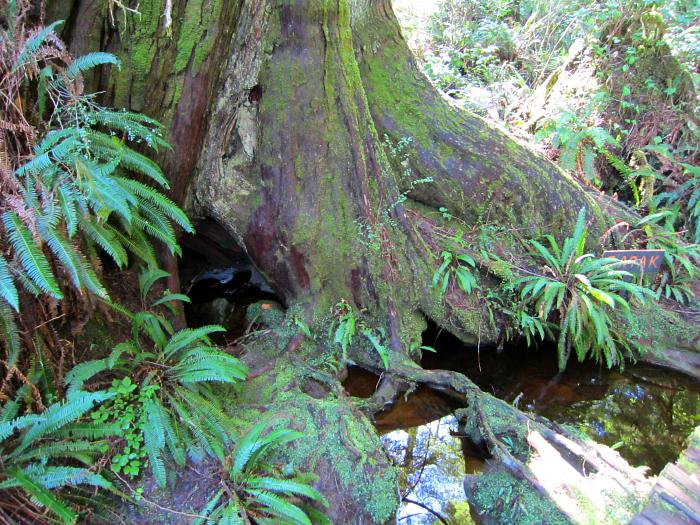 Big Trees Trail Rainforest