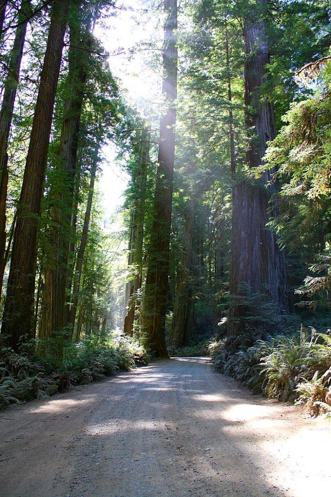 redwood forest gravel road
